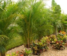 Privacy Palm - Areca Palm - Palm Trees For Sale Online Tropical Backyard Landscaping, Palm Trees Landscaping, Privacy Landscaping, Landscaping With Rocks, Landscaping Tips, Outdoor Landscaping, Tropical Garden, Backyard Ideas, Backyard Beach