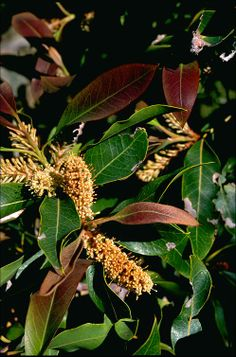 Xylomelum pyriforme, commonly known as the woody pear, is a tree species in the family Proteaceae. It is endemic to Australia. The plant's range is from the New South Wales mid-north coast south to Mittagong, with an outlying record from the vicinity of Cooma