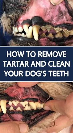 Yes, you need to clean your dog's teeth because dental care is VERY important for our dogs. Find out how to properly remove tartar, plaque and clean your dog's teeth at home. Dog Health Tips, Pet Health, Oral Health, Health Care, Dog Dental Care, Pet Care, Cat Dog, Dog Teeth, Dog Care Tips
