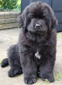 I love Newfies!! I love Newfie puppies even more!!