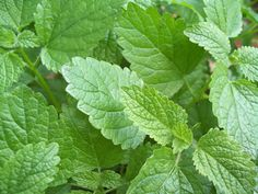 Lemon Balm (Melissa officinalis), can be very helpful for those times when nerves, headaches and/or mild depression are preventing you from relaxing and getting a good nights sleep.  If you allow it to go to seed, you will find lemon balm coming up in unexpected places the next year. Like all mint relatives, it likes a bit of shade from the hot afternoon sun.