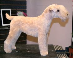 The Lakeland terrier is the smallest of the long-legged terriers. They wear a wire outer coat with a soft dense undercoat that comes in a wide variety of colors. Aggression in this breed is not typical, and their friendly, confident temperament is adding to their popularity. Dog Grooming Styles, Pet Grooming, Terrier Breeds, Terriers, Animals And Pets, Cute Animals, Casual Grooms, Lakeland Terrier, Pet Style