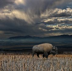 Amazing photography of the bison. White buffalo  http://www.pinterest.com/pin/496170083918707944/