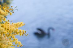 #TBT awesome composition of a swan making its way across Lake Taupo • • • • • #swan #swanlake #lake #reflection #water #outdoors #ocean #flower #flowermagic #blossom #petals #bokeh #bokehlicious #depthoffield #dof_addicts #photos #photograph