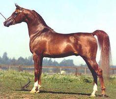 Arabian Horses by River Valley Arabians - Arabian Horses for sale, Stallions, Mares, Foals, Breeder, Horse Farm