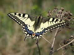 Swallowtail Butterfly / otakárek fenyklový | Flickr - Photo Sharing!