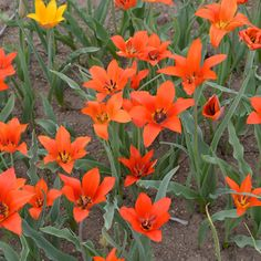 Tulipa ostrowskiana Regel Seeds For Sale, Bulbs, Plants, Tulip, Lightbulbs, Bulb Lights, Bulb, Flora, Plant