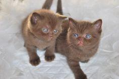 Chocolate British shorthair kittens http://le-domaine-de-chopin.fr/index.html awww