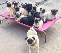 So many pugs!