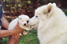 Samoyed. I want one!