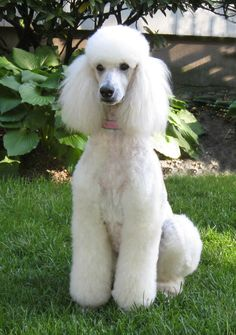 beautiful standard poodle. Looks like my sons dog except his dog wears a mohawk.