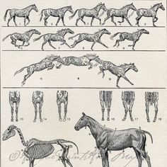 Antique Print Horse Anatomy Muscles Skeleton and Movement Equine Print To Frame Horse Anatomy, Animal Anatomy, Anatomy Art, Horse Drawings, Animal Drawings, Animal Movement, Human Anatomy Drawing, Horse Sketch, Anatomy For Artists