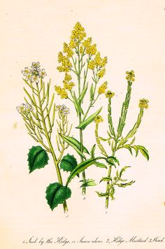 """Louden's Wild Flowers - """"HEDGE MUSTARD"""" - Hand Colored Lithograph - 1846"""