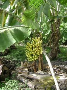 Banana tree in the back yard, Typical of a Niue family to have their own garden growing out in the back of the house.eat banana all day long. South Pacific, Pacific Ocean, The Beautiful South, Tonga, Whale Watching, Cook Islands, Tahiti, The Rock, We The People