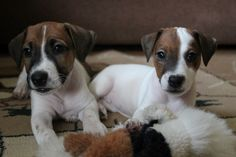 amazing dog pups jack russells