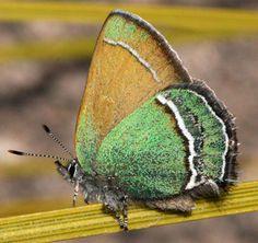 Sandia Hairstreak butterfly (Callophrys mcfarlandi) near Albuquerque, NM.; photo by J.N. Stewart