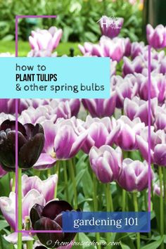 These tips for how to plant bulbs in the fall are awesome! I can wait to have a beautiful spring garden with tulips and daffodils. Click through to get lots of ideas for different bulb varieties, too. #fromhousetohome #bulbs #tulips #daffodils #gardenideas  #spring Spring Flowering Bulbs, Spring Bulbs, Vegetable Garden For Beginners, Gardening For Beginners, Fall Plants, Shade Plants, Garden Bulbs, Shade Garden, Landscaping Trees