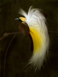 lesser bird of paradise  (photo by sijanto nature)