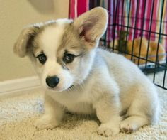 Winston the Pembroke Welsh Corgi