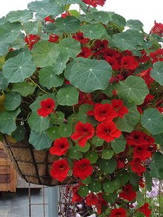 Nasturtium 'Empress of India' Planted in pots under the window and the bed in front