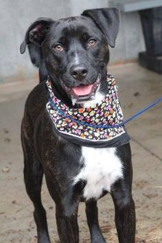 ADOPTED> NAME: Dexter  ANIMAL ID: 34024890  BREED: Retriever/boxer mix  SEX: male(altered)  EST. AGE: 1 yr  Est Weight: 49 lbs  Health: Heartworm neg  Temperament: dog friendly, people friendly  ADDITIONAL INFO: RESCUE PULL FEE: $35  Intake date: 11/18  Available: 11/26