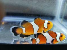 Clownfish Pair for Sale Online Marine Aquarium Fish, Live Aquarium Fish, Marine Fish, Saltwater Aquarium, Saltwater Fishing, Fish For Sale, Fish Stock, Live Fish, Salt And Water