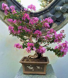 Lagerstroemia_indica_bonsai_JBM.jpg (600×684)