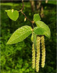 Alder leaf and catkins
