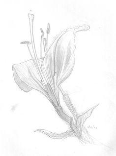 Very traditional flower sketch. Pencil - Jan 1998