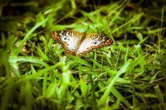 Mariposa III - Photo was taken in my backyard garden.