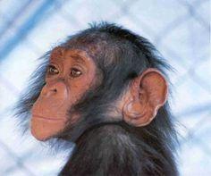 Paedomorphy  :  : Is de mens een onvolwassen aap? Foto: Jane Goodall