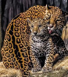 Mother jaguar grooming her cub. She has a gorgeous coat of fur. Mother jaguar grooming her cub. She has a gorgeous coat of fur. Big Cats, Cats And Kittens, Cute Cats, Siamese Cats, Mother And Baby Animals, Cute Baby Animals, Nature Animals, Animals And Pets, Animals Images