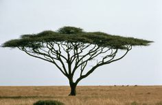 Acacia tree in South Africa.