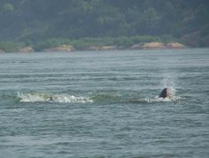 Irrawady Dolphins Kratie Cambodia
