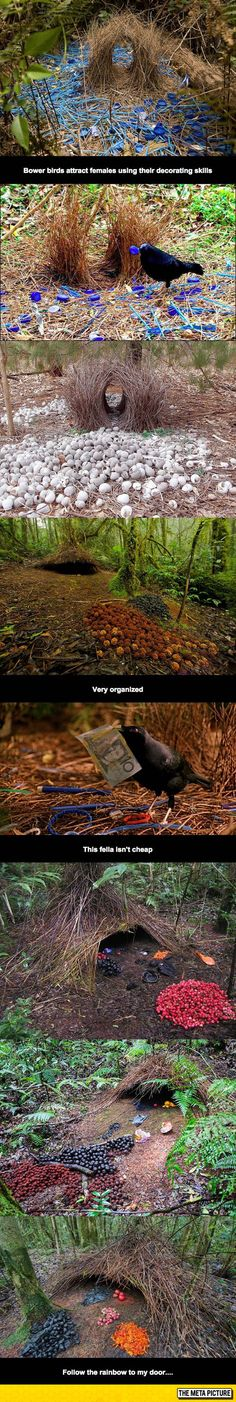 Bower Birds Are Awesome..It's all up to the females. Each specie likes different colors and shapes and behavior makes a difference, as well.