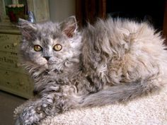 Selkirk Rex cat.  What a beautiful breed! Has curly long hair, whiskers and all.