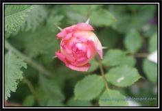 zapach ogrodu: Jubilee Celebration  powodem kupna tej róży był je...