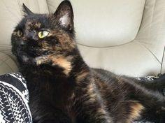 Tabby Cats, Kitty Cats, Tortoiseshell Tabby, Serious Cat, Calico Cats, Cheetahs, Leopards, Cleopatra, Tortoise Shell