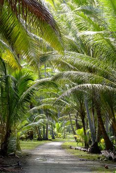 A palm tree lined road in Niutao, Tuvalu >>> I'd love to take a stroll here!