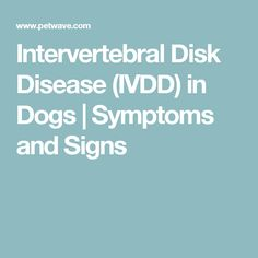Intervertebral disk disease (IVDD) is a common condition of the spinal cord that our neurology specialists are more than qualified to treat successfully. Intervertebral Disc, German Shorthaired Pointer, Neurology, South Florida, Dog Pictures, Pointers, Pet Care, Miami, Doggies