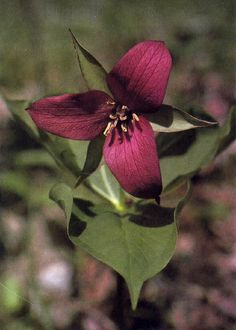 I want to plant trillium flowers in my garden.