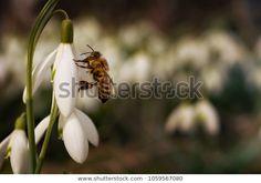 Snowdrop Flowers Bee Spring Garden: stock fotografie (k okamžité úpravě) 1059567080 Spring Garden, Bee, Flowers, Plants, Photography, Image, Fotografie, Floral, Photography Business