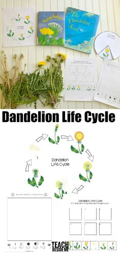 Dandelion Life Cycle learning and teaching ideas- wildflower nature study for kids via Science Activities For Kids, Nature Activities, Preschool Science, Spring Activities, Teaching Activities, Science Lessons, Teaching Science, Teaching Ideas, Sequencing Activities