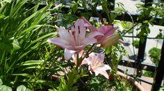 Lirios (género Lilium) - Pesquisa Google