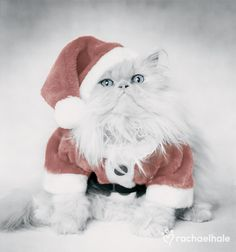 "Gizmo (Cameo Persian) - Gizmo cries, ""why is it my turn to be Santa?"" (pic by Rachael Hale)"