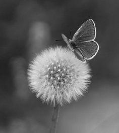 Dandelion & butterfly.