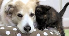 "Your Daily Dose Of ""Awww"" Murkin, an adorable rescue dog, plays nanny and cuddle buddy to the various foster kittens that are brought into his home. One kitten decides that Murkin needs some extra loving in this heartwarming video. Get ready to say ""awwwww!"" as you watch below. Read more at http://blog.theanimalrescuesite.com/your-daily-dose-of-awww/#bl3WfK8dvIiUKPP0.99"