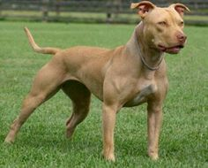 Beautiful rednose pitbull