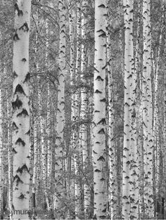 Beautiful photo wall mural of a birch tree forest in black and white. Birch forest murals are widely used by decoration professionals for several reasons. Bright Colored Furniture, Colorful Furniture, Birch Tree Wallpaper, Forest Wallpaper, Birch Forest, Tree Forest, White Birch Trees, Birch Tree Tattoos, Tattoo Tree