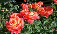 """Вот такие у нас розы. """"Окуневка Тур"""", частный пансионат. 14 июля 2014 г."""